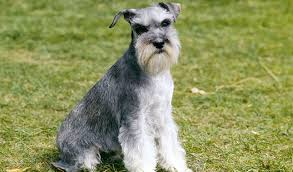 they are a small breed of dog that were often used as ratting dogs they are considered to be good guard dogs without the tendency to bite