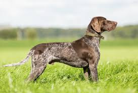 German Shorthaired Pointer Dog Breed Information, Buying Advice ...