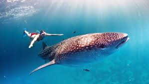 whale shark wallpaper desktop. Wonderful Whale Whale Shark Hd Wallpapers For Desktop Intended Wallpaper