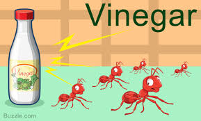 home remes to get rid of ants vinegar