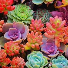 Colorful succulents that look like coral. Idea: Put these inside a box and  hang