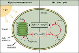 the two stages of photosynthesis photosynthesis takes place in two stages light dependent reactions and the calvin cycle light independent reactions