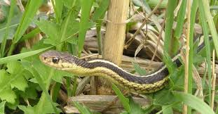home animals snakes garden snake