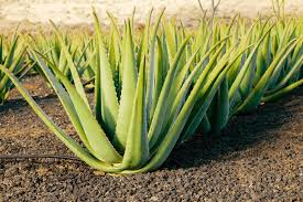 Image result for importance of aloe vera on skin
