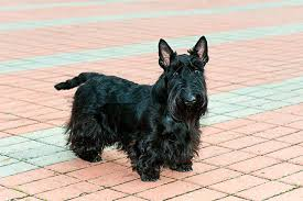 scottish terrier mix. Contemporary Terrier Scottish Terrier Dog Breed Picture For Mix Dogtime