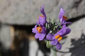 Linaria alpina - Wikipedia