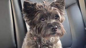cairn terrier. Modren Terrier Maddie The Cairn Terrier  Intended R