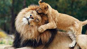 Playing Cub Lion With Big Lion HD Lion ...