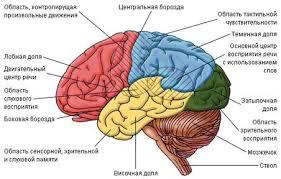 Реферат Функции нервной системы ru Зоны головного мозга