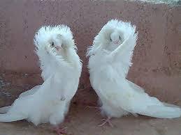 Картинки по запросу голубь гнездо