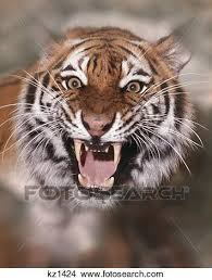 tiger face growling. Contemporary Face Face And Fangs Of Growling Roaring Tiger To Tiger Growling W