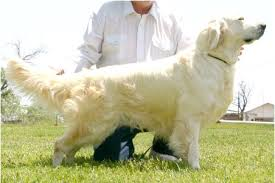 american vs english golden retrievers. Beautiful American English Golden Retriever Vs American Retrievers Are They  Actually Different To