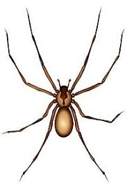 Arizona Spiders Identification Chart Two Of Our Most Dangerous Spiders In Arizona Are The Black