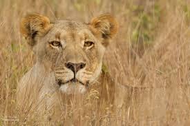 lioness stalking in grass. Wonderful Lioness Brother And Sister Lioness In The Grass And Stalking In Grass T