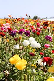 visit the flower fields in carlsbad ca about 1 2 hours south of los