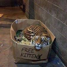 Image result for free kittens with tiger