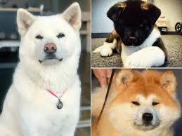 Perros Akita Inu: características, cuidados y consejos - AnimalesMascotas