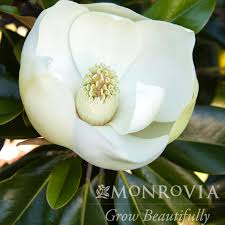 15 magnolia grand little gem dwarf southern
