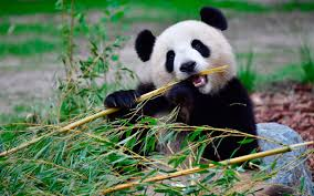 Image result for panda