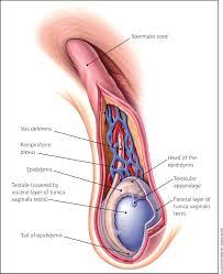 testicular rupture symptoms. figure 1. testicular rupture symptoms