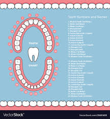 Tooth Chart For Losing Teeth Tooth Chart With Names Dental Infographics