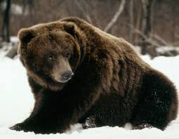 grolar bear size 11 facts you didnt know about polar bears wwf