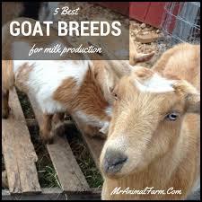 Dairy Goat Breeds 5 Best Goat Breeds For Milk Production