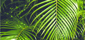 Cherry Blossom Light Tree Bunnings How To Grow And Care For Palm Trees Bunnings Warehouse