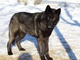 black german shepherd wolf hybrid. Wonderful Black German Shepherd Wolf Mix  My Future Dog  Mix  Mixed Breed DogsPups In Black Hybrid Pinterest