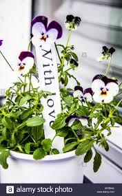 Weiß Lila Viola Blumen In Weiß Blumentopf Auf Der Fensterbank Holz