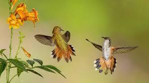 hummingbirds live wallpaper