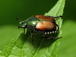 japanese beetles life cycle stopping japanese beetles from destroying landscaped yards