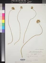 SEINet Portal Network - Allium pallens
