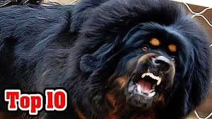 top 10 most dangerous dog breeds s dangerous dogs o you and dog breeds