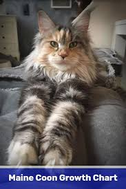 Maine Coon Growth Chart How To Keep A Maine Coon Cat Growth Chart For Maine Coon