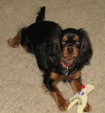 cavalier king charles spaniel black and tan puppy. Beautiful Cavalier Boz The Cavalier King Charles Spaniel Is Laying On A Carpet With Toy In  Its To Black And Tan Puppy