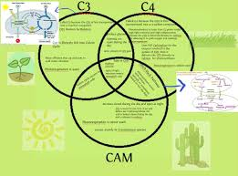 C3 C4 And Cam Plants Plants Biology School