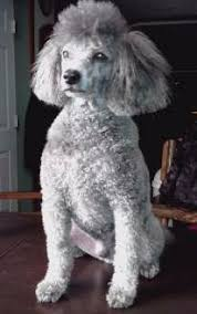 Toy Poodle Growth Chart Poodle Age Equivilancy And Age Chart
