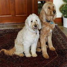 Standard Goldendoodle Size Chart Bark Busters Breed Of The Month Goldendoodle