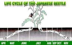 japanese beetles life cycle japanese beetle life cycle including the damaging white grub phase