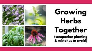planting herbs together which herbs to