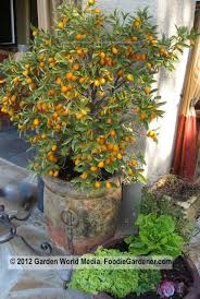 15 Fruitful And Flowery Trees That Grow Great In Containers Kumquat Tree Not Bearing Fruit