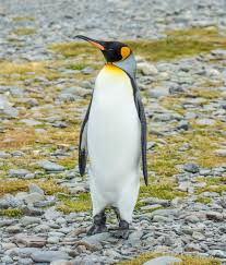 King Penguin Wikipedia