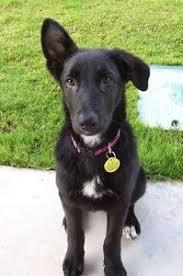black lab german shepherd puppies. Perfect Puppies Lab And German Shepherd Mix U003c3 Holy Cowis This Tindra On Black Puppies