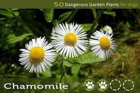 dangerous garden plants for dogs