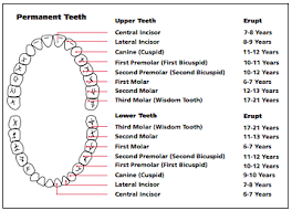 Permanent Teeth Eruption Chart Importance Of Baby Teeth And When Children Should See The