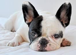 Image result for French Bulldog