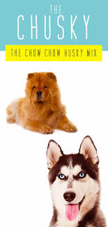 Chow Chow Height Chart Chusky Information Center The Chow Chow Husky Mix Breed Guide
