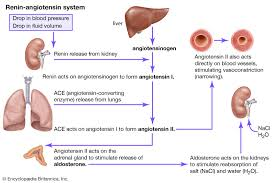 Ace Conversion Chart Renin Angiotensin System Definition Facts Britannica