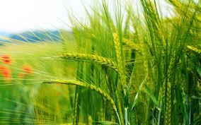 Αποτέλεσμα εικόνας για green wheat